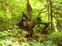 Uprooted tree, Cathedral Grove, BC, Canada