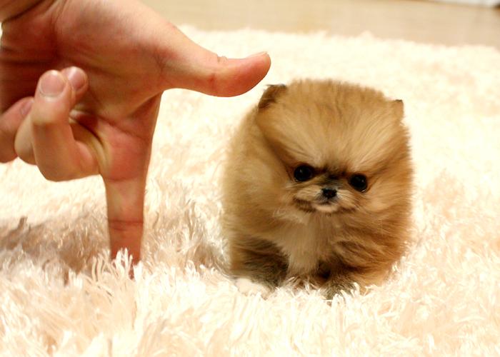 Cute Pomeranian Wallpaper Micro Teacup Puppies Somewhereoverthebrainbow