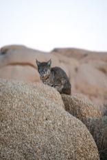 Joshua Tree Bobcat