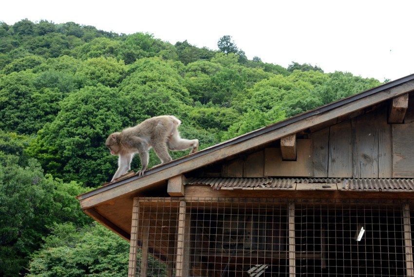 monkey on roof Monkey Park