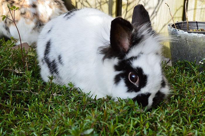 konijnen3