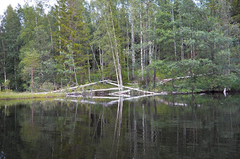Met de kano op beversafari in Dalarna - kapotte bomen