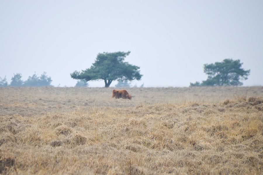 Wandelen in Nationaal Park Veluwezoom schotse hooglander