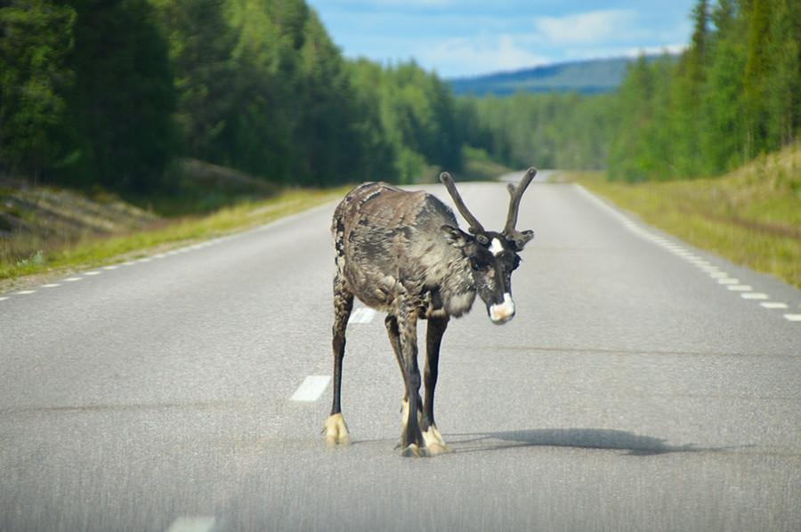 Rendier vanuit de auto - ontdek Noord-Zweden - sommarmorgon.com