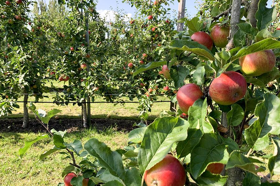 Appelboomgaarden Kivik - sommarmorgon.com