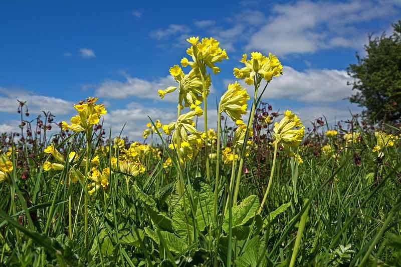 Wiesen-Schluesselblume