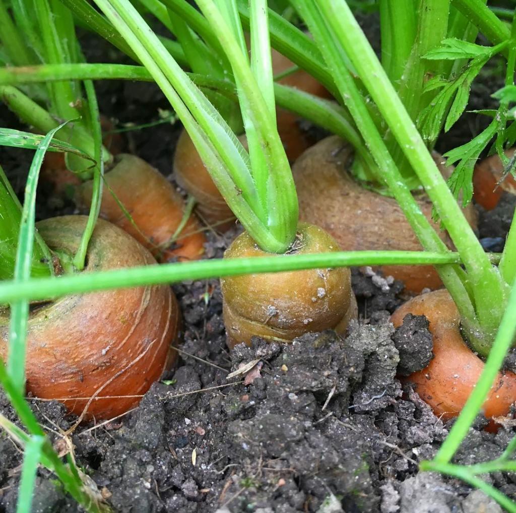 hjemmedyrkede gift fri gulerødder - mange grøntsager på lidt plads