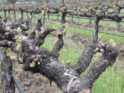 Old Cordon Vines - Napa
