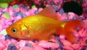 peces-dorados-o-goldfish-2