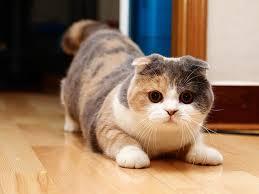 gato scottish fold1