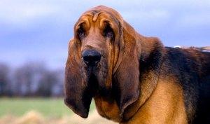 perros que sufren cataratas