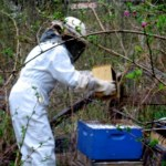 Hiving bees