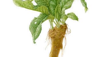 SongCroftFarm Horseradish