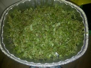 Purslane Harvest