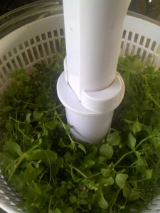Chickweed in the Salad Spinner
