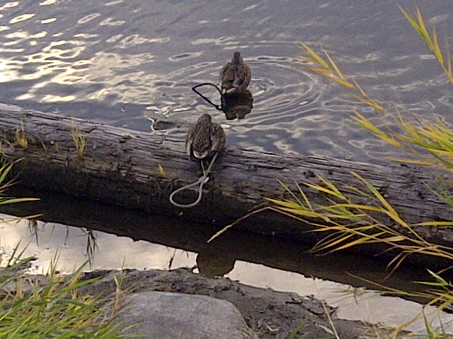 Songdove Books - Ducks in Bird Sanctuary