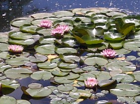 Songdove Books - Lilly pads