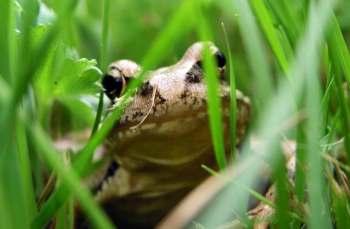 Songdove Books - Frog in Grass