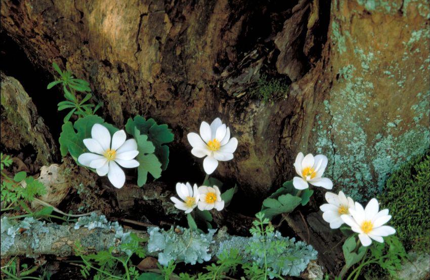 Songdove Books - Bloodroot Flower