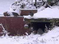 Songdove Books - Winter Quail