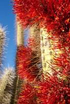 VICUNA / Balade autour de l'observatoire del Pangue : cactus en fleur