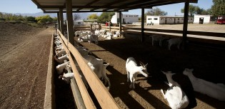 CAFAYATE / Visite d'une chèvrerie