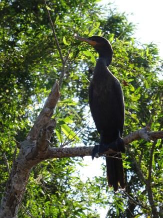 PN MADIDI / Dans les marais de la pampa : un pato cuervo