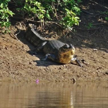 PN MADIDI / Dans la pampa : un alligator. En Bolivie, pas de crocodile, en revanche on croise aussi des caimans qui se distinguent par leur couleur noire et une rangée d'épines dorsales qui descendent de la tête à la queue