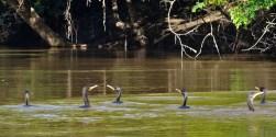 PN MADIDI / Dans la pampa : des pato cuervo ardilla chassent en groupe