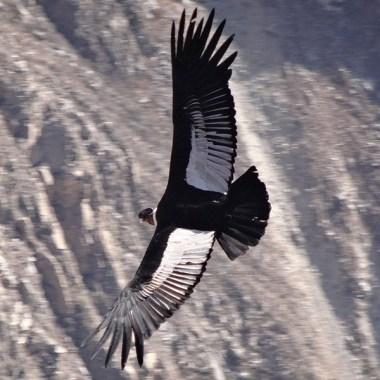 CANYON DE COLCA / Le condor tient un rôle important dans la mythologie andine, avec le puma (terre) et le serpent (sous-sol).