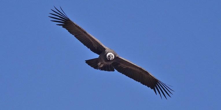 CANYON DE COLCA / Matinée d'observation des condors au lieu-dit Cruz del condor