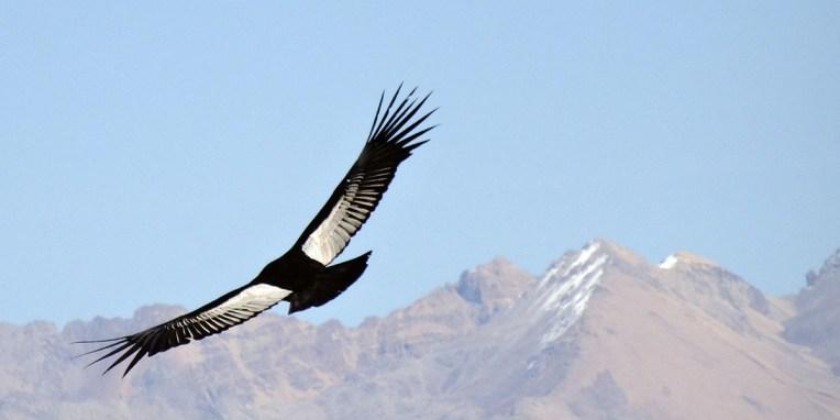 CANYON DE COLCA / L'oiseau-roi de la cordillère des Andes