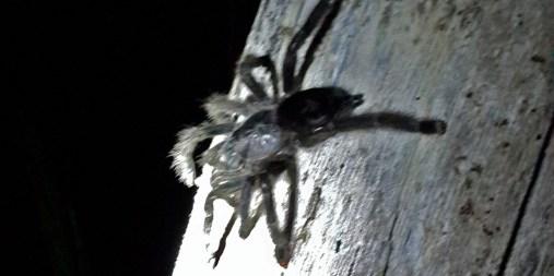 PN MADIDI / Dans la selva (jungle) : rencontre nocturne avec une mygale (©Maluck)