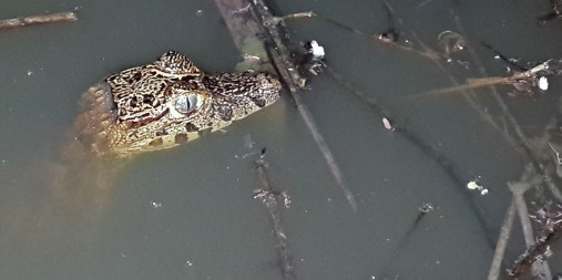PN MADIDI / Dans la pampa : bébé alligator immobile dans une marre à qq mètres de notre lodge (©Maluck)