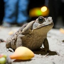 PN MADIDI / Dans la pampa : la grenouille et crapaud portent bonheur en Bolivie :-)