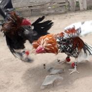 QUITO / Combat de coqs