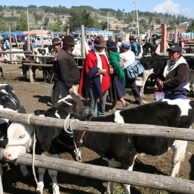 SAQUISILI / Carré des bovins