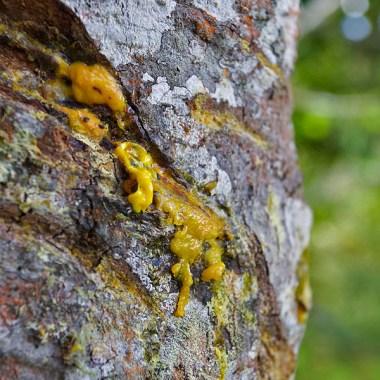 SAN AGUSTIN / Parc archéologique : la sève de cet arbre servait de colorant pour décorer les statues