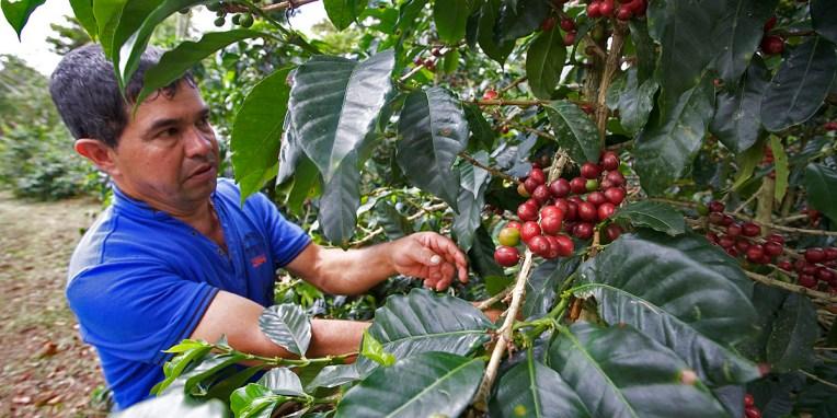 SAN AGUSTIN / Visite d'une finca de café : les fruits poussent toute année avec des pics en mars et décembre. La récolte des fruits mûrs a lieu tous les 14 jours. Ces derniers ont une pulpe sucrée.