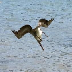 PLAYA PAN DULCE / Pélican sur le point de pêcher son repas