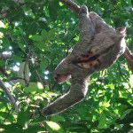 PN MANUEL ANTONIO / Un paresseux