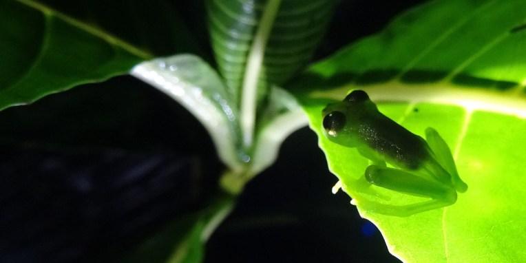 STATION BIOL. LA GAMBA / Balade nocturne dans la forêt tropicale : grenouille de verre