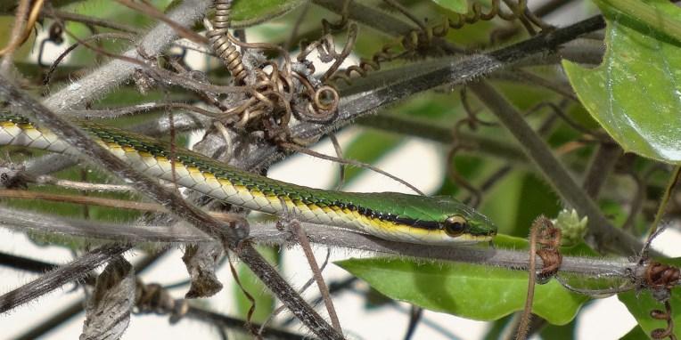 TULUM / C'est encore Anna (oeil de lynx) qui a repéré ce petit serpent qui bronzait dans le buisson à côté du camping-car... A ce propos, je vous ai parlé du scorpion que j'ai trouvé entre mes deux jambes après avoir enfilé mon maillot de bain… Brrrrr !