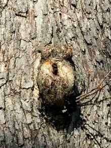 A Tree Testicle?