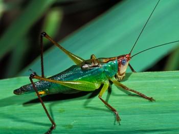 Meadow Katydids Songs of Insects