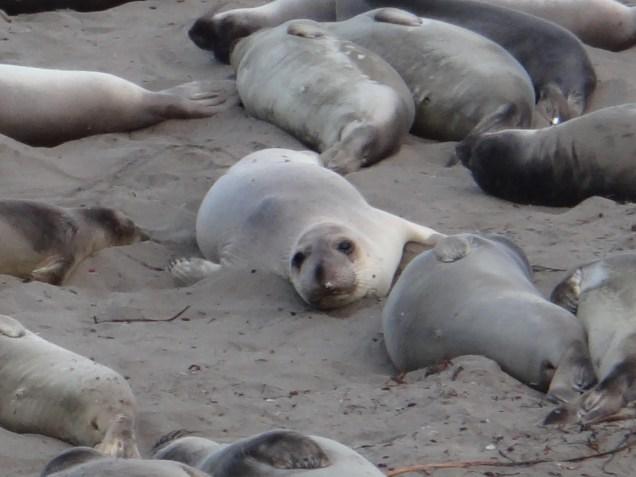 3806 13 dia - Piedras Blancas elefantes marinhos