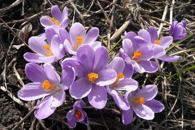 purple crocus (1280x856)
