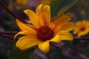 Loraine Sunshine Heliopsis (1)