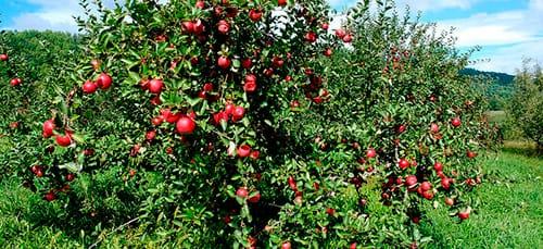 Как понять к чему снится яблоня цветущая с крупными плодами или засохшая