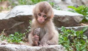 onlayn aqldan maymun oynash